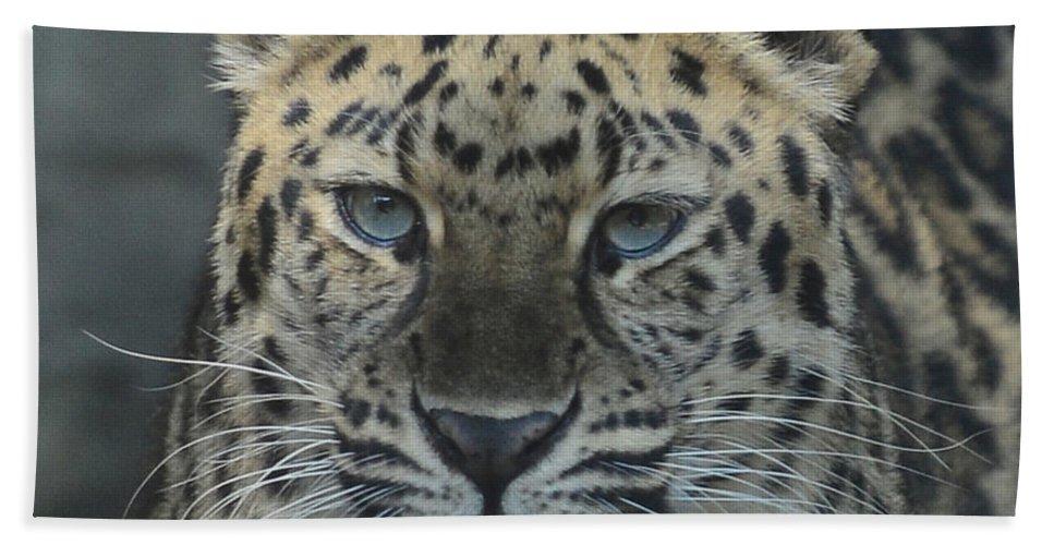 Jaguar Beach Towel featuring the photograph The Eyes Of A Jaguar by Paul Ward