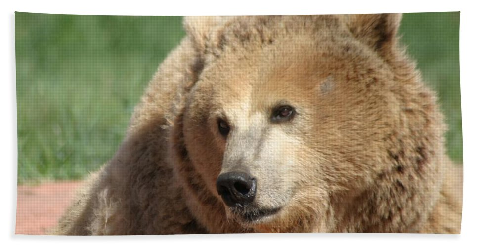 Bear Beach Towel featuring the photograph The Look by Living Color Photography Lorraine Lynch
