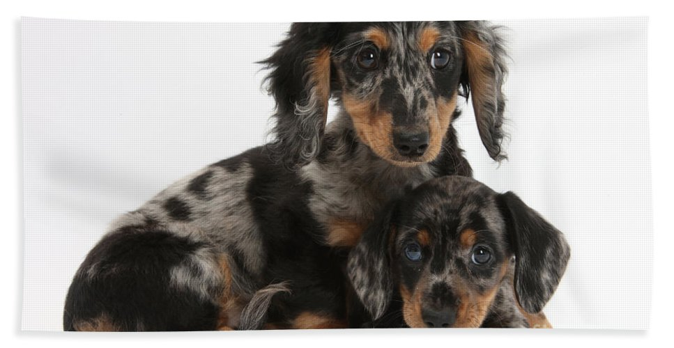 Tricolor Dachshund Puppies Beach Towel For Sale By Mark Taylor