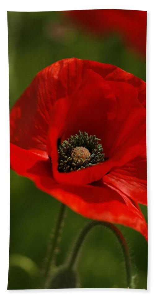 Papaver Rhoeas Beach Towel featuring the photograph Truly Red Oriental Poppy Wildflower by Kathy Clark