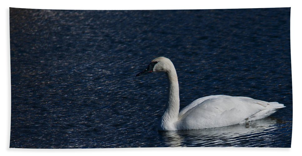 Trumpeter Swan Beach Towel featuring the photograph Trumpeter Swan by Edward Peterson
