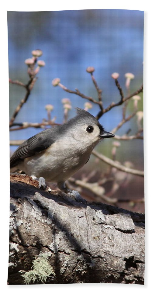Tufted Titmouse Beach Towel featuring the photograph Tufted Titmouse - Always Alert by Travis Truelove