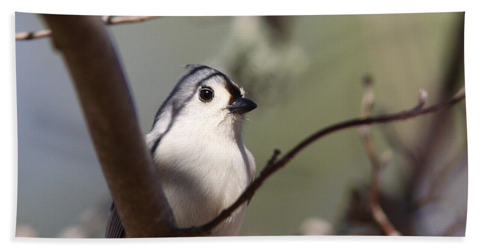 Tufted Titmouse Beach Towel featuring the photograph Tufted Titmouse - The Bomb by Travis Truelove