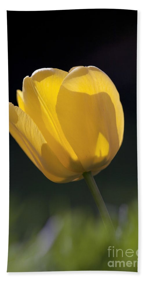 Tulip Beach Towel featuring the photograph Tulip Flower Series 1 by Heiko Koehrer-Wagner