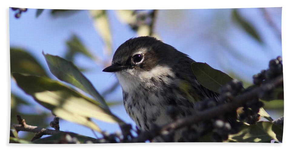 Pine Warbler Beach Towel featuring the photograph Twinkle by Travis Truelove