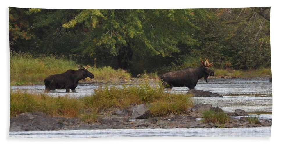 Moose Beach Towel featuring the photograph Two Bull Moose In Maine by Glenn Gordon