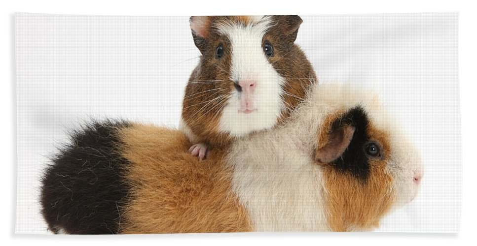 Nature Beach Towel featuring the photograph Two Guinea Pigs by Mark Taylor
