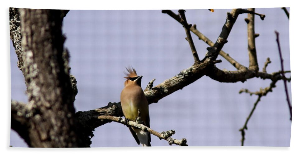 Cedar Waxwing Beach Towel featuring the photograph Two's Company by Travis Truelove