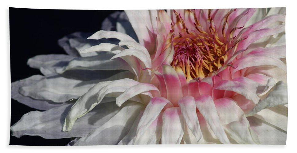 Victoria Water Lily Beach Towel featuring the photograph Victoria Water Lily by Carol Groenen