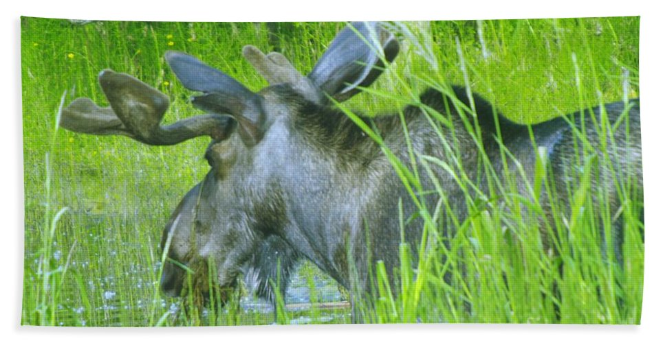Moose Beach Towel featuring the photograph Wading In by Jeff Swan