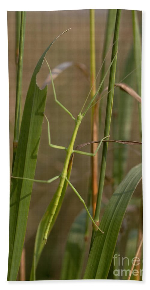 Animal Beach Towel featuring the photograph Walking Stick Insect by Ted Kinsman