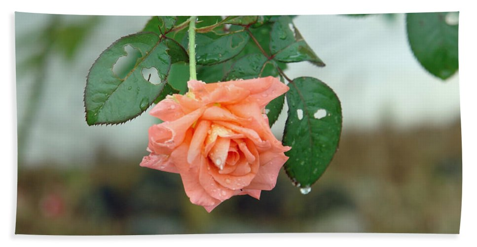 Water Beach Towel featuring the photograph Water Dripping From A Peach Rose After Rain by Ashish Agarwal