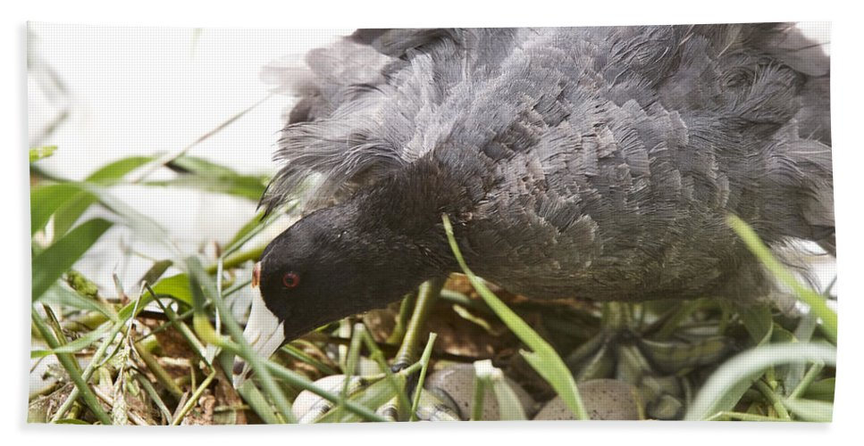 Bird Beach Towel featuring the photograph Waterhen Coot On Nest With Eggs by Mark Duffy