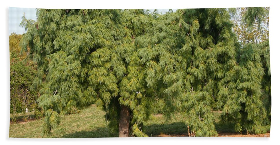 Weeping White Pine Beach Towel For Sale By Susan Herber