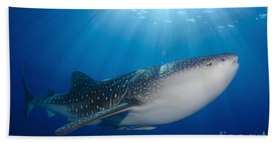 Spotted Beach Towel featuring the photograph Whale Shark Feeding Under Fishing by Steve Jones