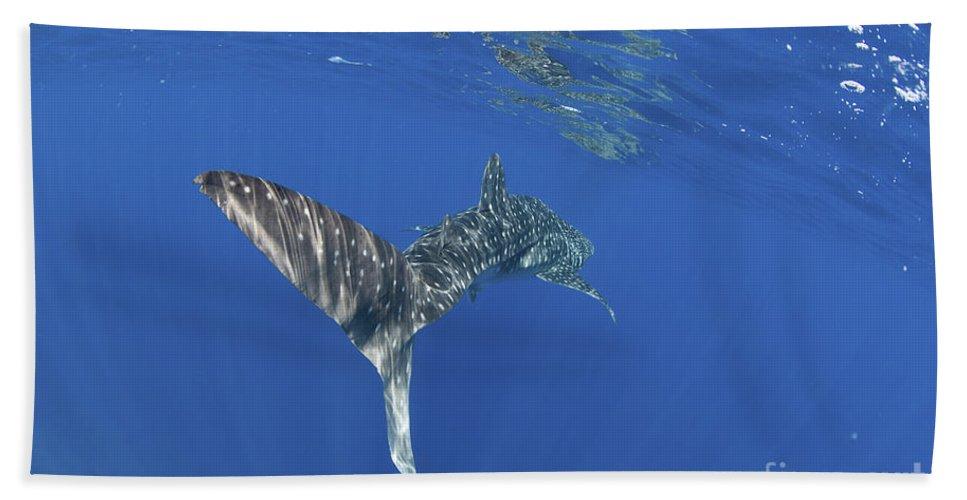 Australia Beach Towel featuring the photograph Whale Shark Tail Near Surface With Sun by Mathieu Meur