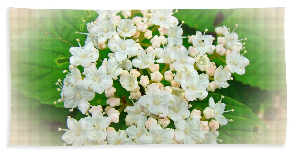Hydrangea Beach Towel featuring the photograph White And Cream Hydrangea Blossoms by Mother Nature