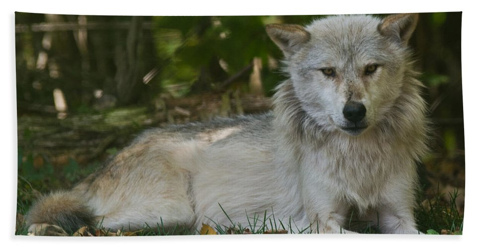 Wolf Beach Towel featuring the photograph Wolf by Cale Best