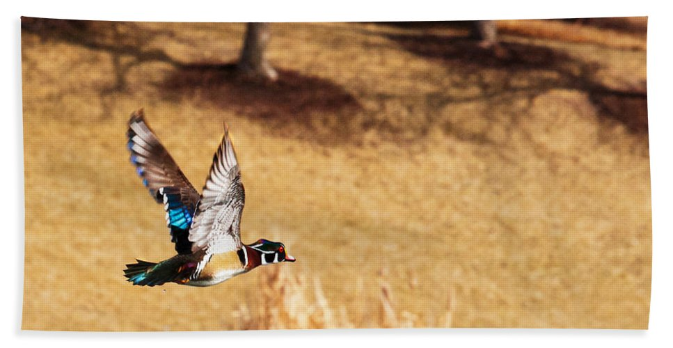 Wood Duck Beach Towel featuring the photograph Wood Duck In Fflight by Edward Peterson