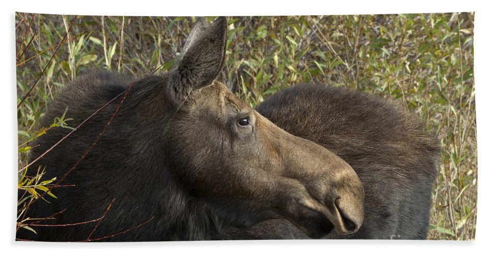 Bronstein Beach Towel featuring the photograph Yearling Calf On Alert by Sandra Bronstein