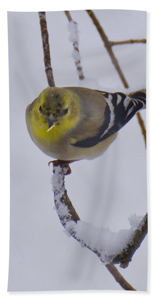 Usa Beach Towel featuring the photograph Yellow Finch Cold Snow by LeeAnn McLaneGoetz McLaneGoetzStudioLLCcom