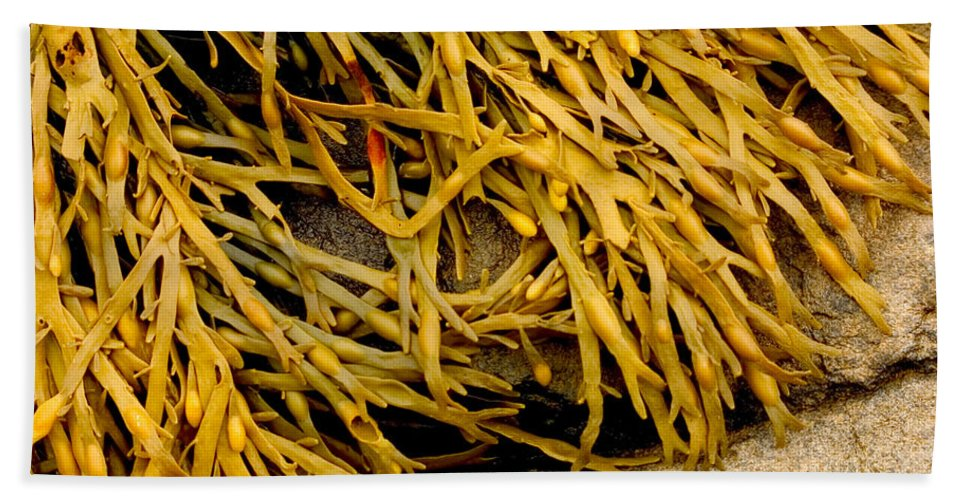 Kelp Beach Towel featuring the photograph Yellow Kelp by Brent L Ander