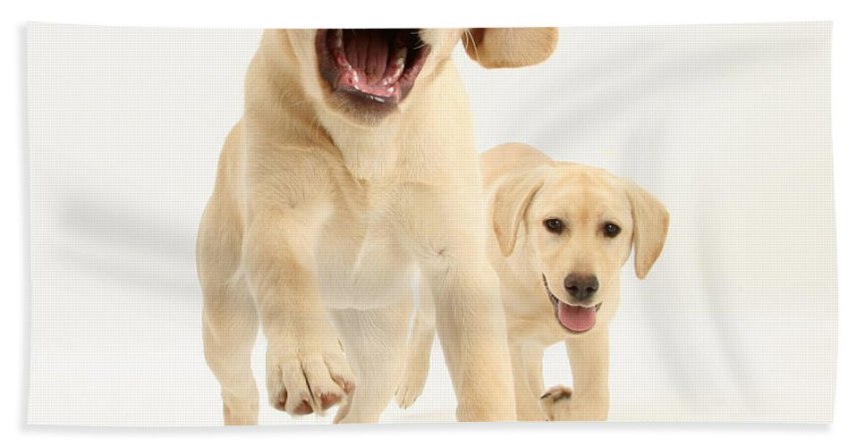 Nature Beach Towel featuring the photograph Yellow Labrador Pups Leaping And Running by Mark Taylor