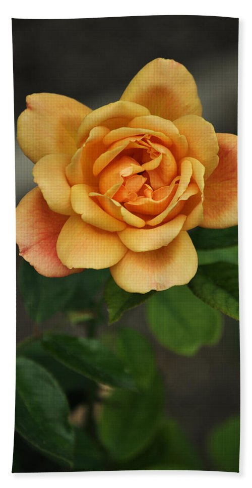 Yellow Beach Towel featuring the photograph Yellow Rose Of Baden by Mary Machare