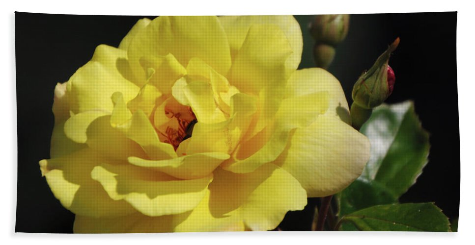 Yellow Beach Towel featuring the photograph Yellow Rose by Ronald Grogan