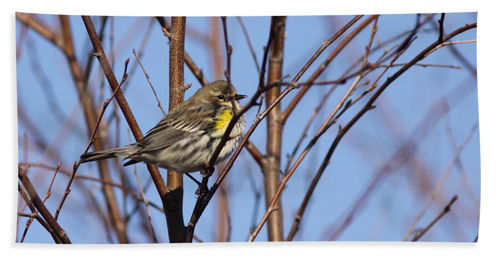Pine Warbler Beach Towel featuring the photograph Yellow-rumped Warbler - Placid by Travis Truelove