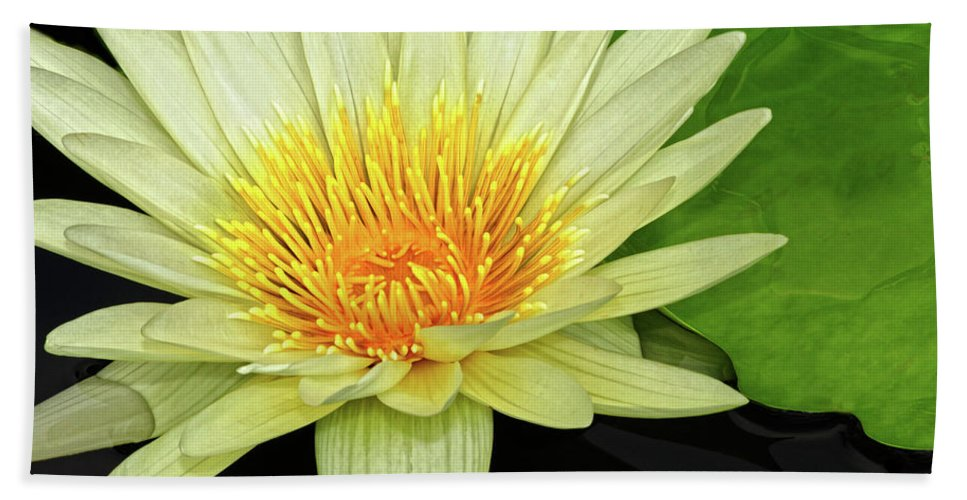 Waterlily Beach Towel featuring the photograph Yellow Waterlily by Dave Mills