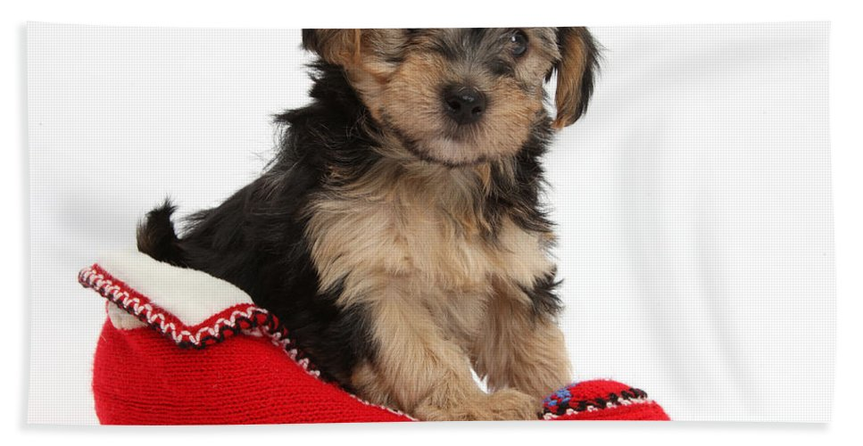 Nature Beach Towel featuring the photograph Yorkipoo Pup by Mark Taylor