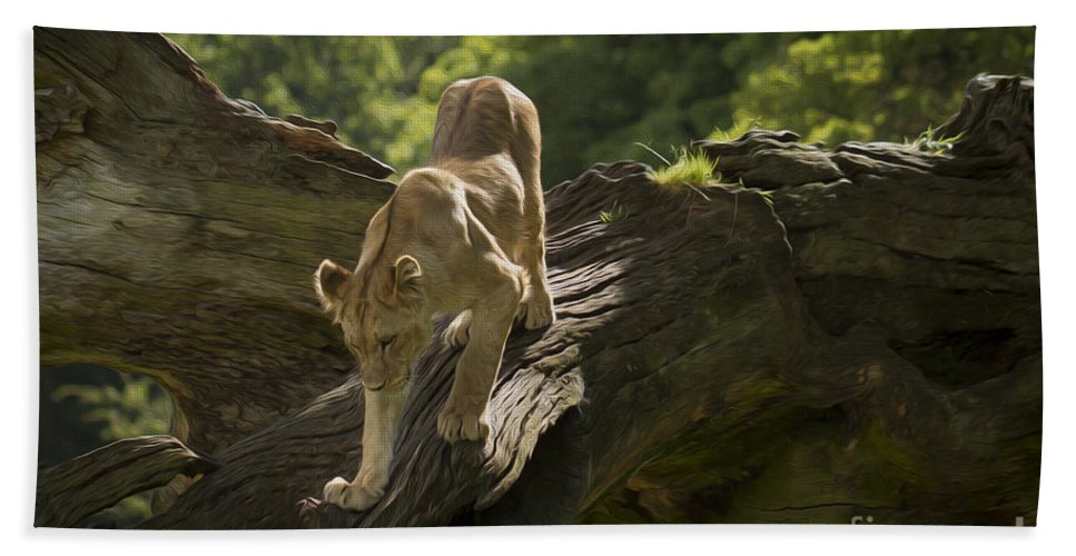 Clare Bambers Beach Towel featuring the photograph Young Lion Stalking by Clare Bambers