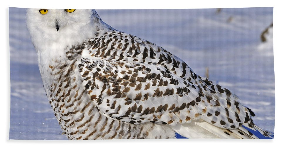 Snowy Owl Beach Towel featuring the photograph Young Snowy Owl by Tony Beck