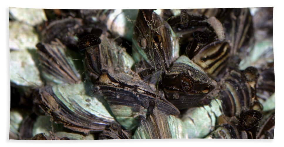 Animal Beach Towel featuring the photograph Zebra Mussels Dreissena Polymorpha by Ted Kinsman
