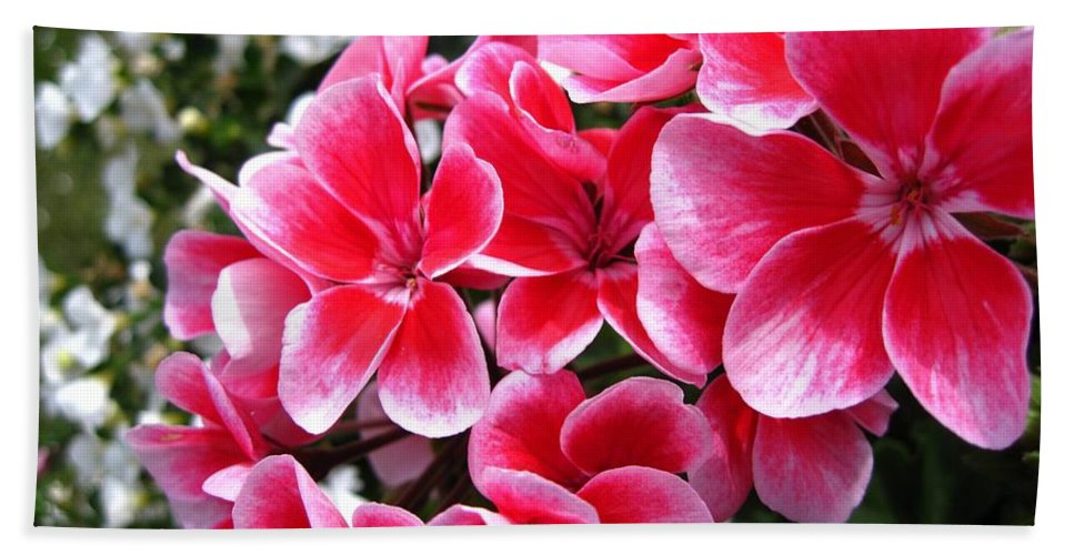 Zonal Geranium Beach Towel featuring the photograph Zonal Geranium Named Candy Fantasy Kiss by J McCombie