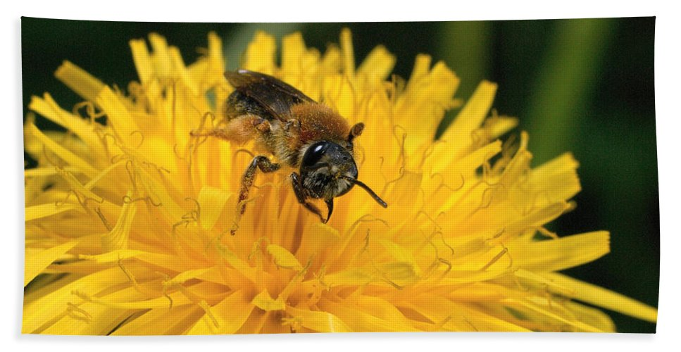 Lehtokukka Beach Towel featuring the photograph A Bee In A Dandelion by Jouko Lehto