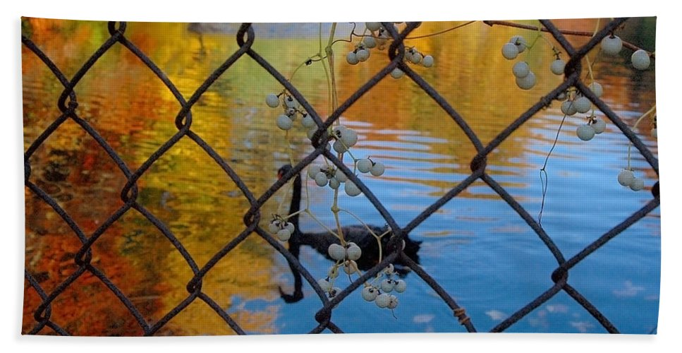 Landscape Beach Towel featuring the photograph Black Swan On Watercolor by Trish Hale