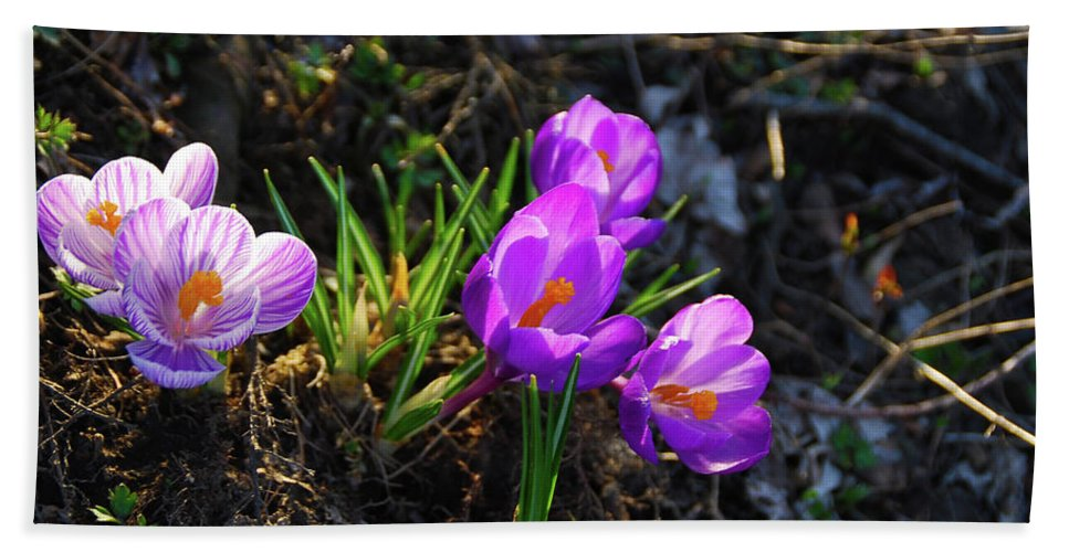 Pams Gardens Beach Towel featuring the photograph Crocus 0083b by Guy Whiteley
