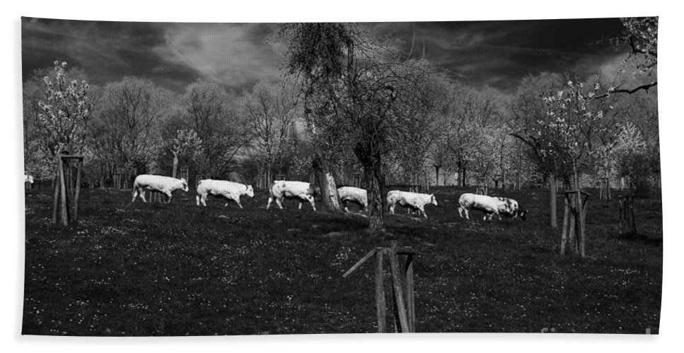 Cow Line Beach Towel featuring the photograph Line Of Cows by Brothers Beerens