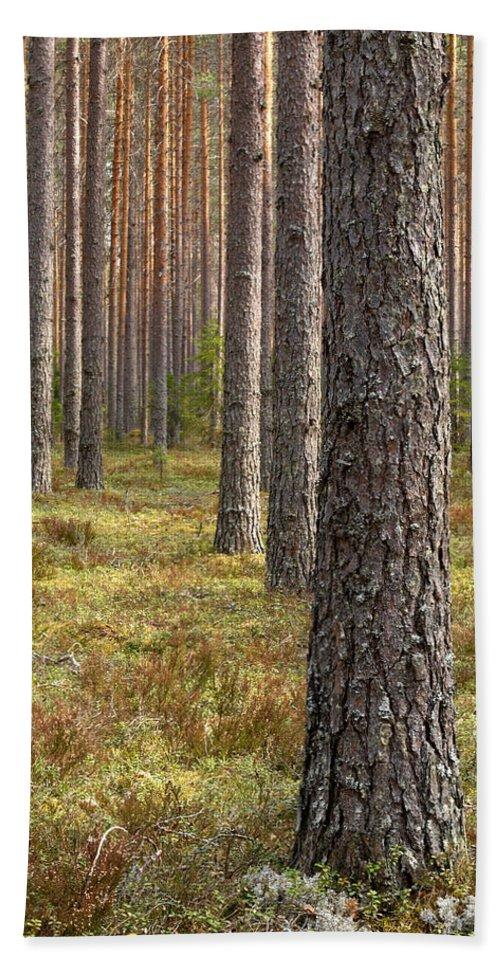 Lehtokukka Beach Towel featuring the photograph Pine Forest by Jouko Lehto