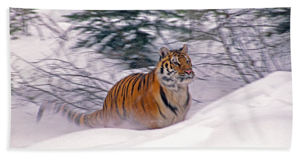 Tiger Beach Towel featuring the photograph A Blur Of Tiger by Michele Burgess