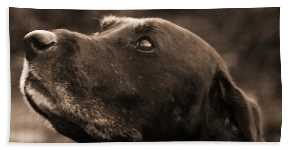 Black Lab Beach Towel featuring the photograph Always Faithful by Roger Wedegis