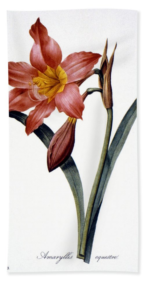 1833 Beach Towel featuring the photograph Amaryllis by Granger