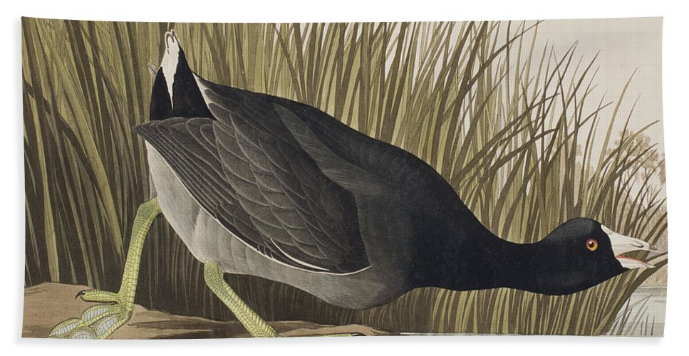 Coot Beach Towel featuring the painting American Coot by John James Audubon