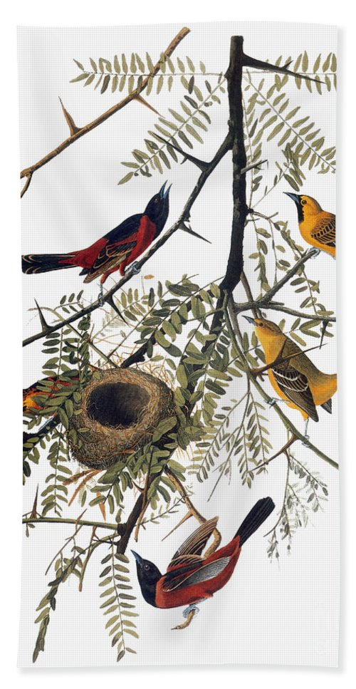1838 Beach Towel featuring the photograph Audubon: Oriole by Granger