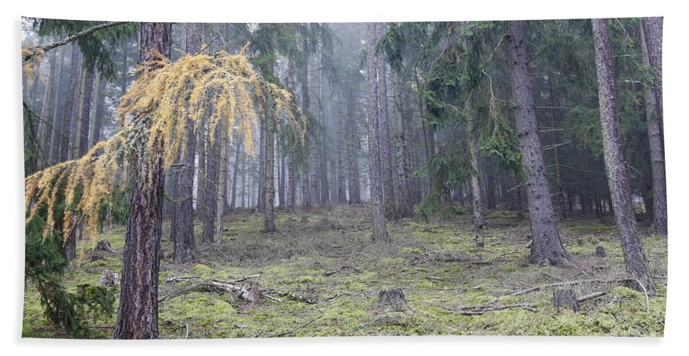 Slavkov Beach Towel featuring the photograph Autumn Coniferous Forest In The Morning Mist by Michal Boubin