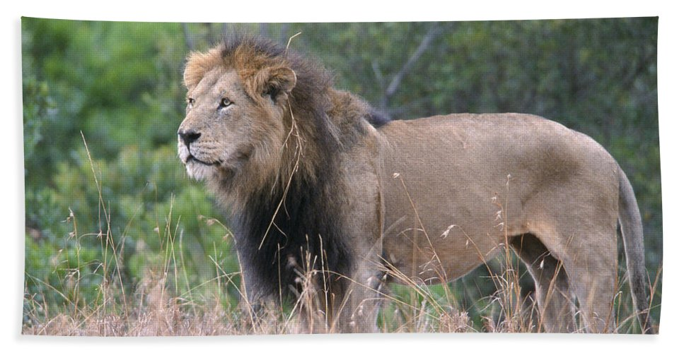Lion Beach Towel featuring the photograph Black Maned Lion by Sandra Bronstein