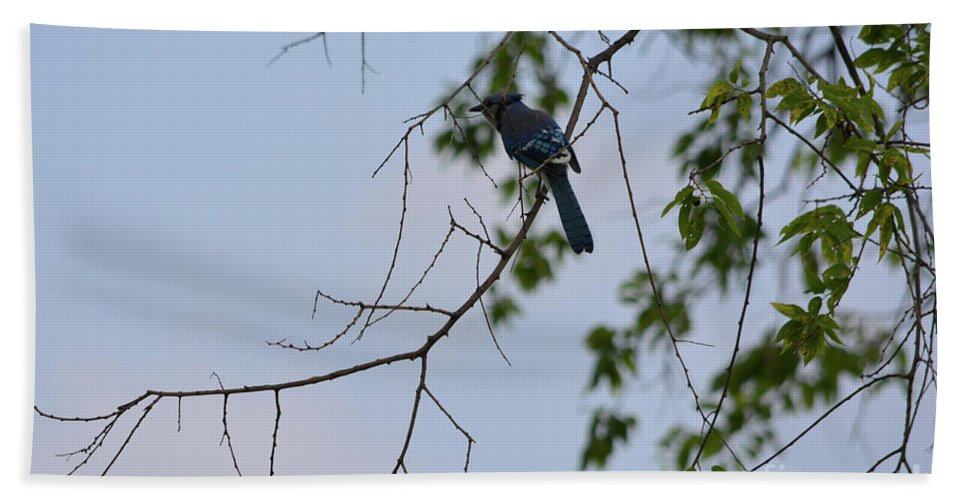 Blue Jay In Tree Prints Beach Towel featuring the photograph Blue Jay In Tree by Ruth Housley