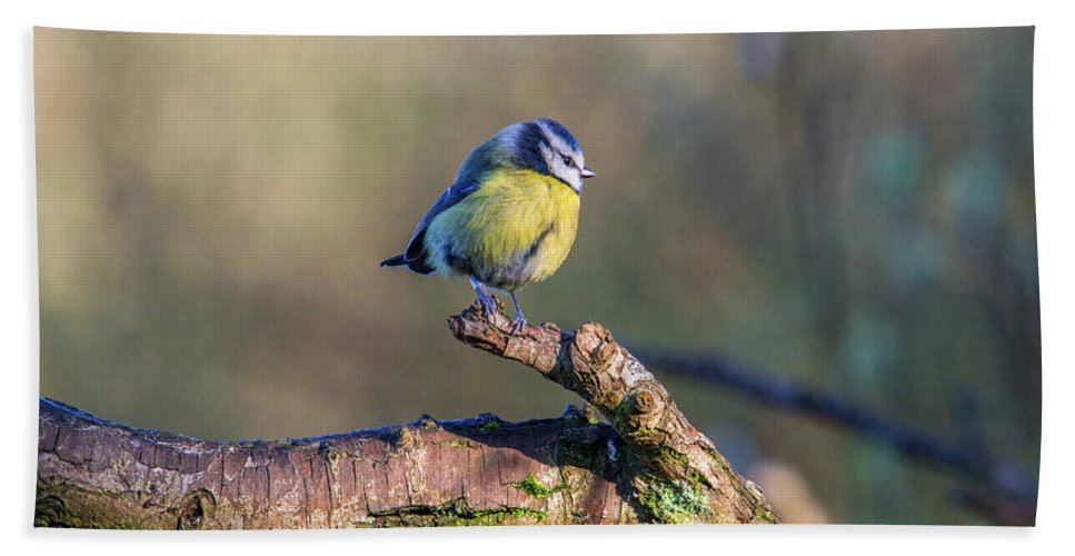 Bluetit Beach Towel featuring the photograph Bluetit On A Branch by Stephen Jenkins